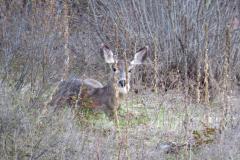 deer-in-Grass